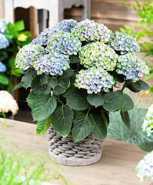 beliebteste zimmerpflanzen topfpflanzen blühend hortensie