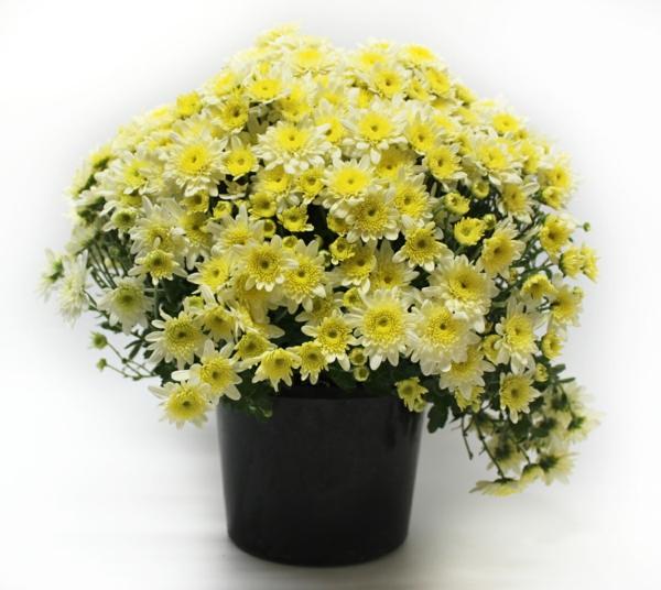 beliebteste zimmerpflanzen topfpflanzen blühend topf chrysanthemen