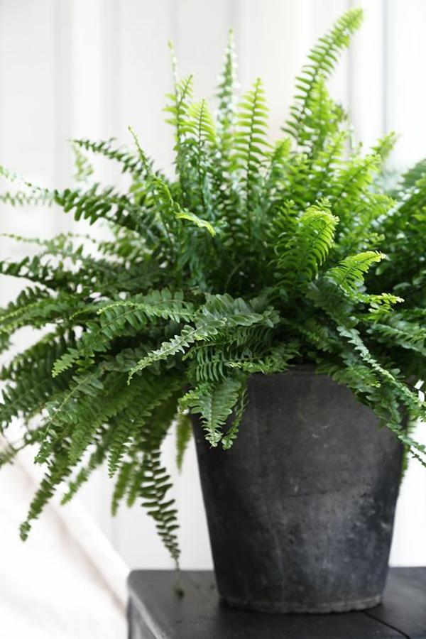 zimmerpflanzen beliebte topfpflanzen grünpflanzen zimmerfarne