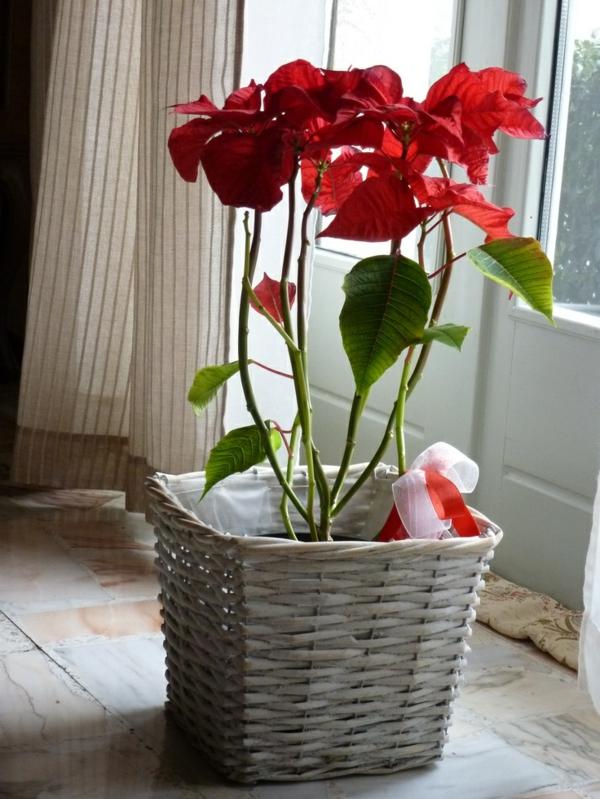 beliebteste zimmerpflanzen topfpflanzen weihnachtsstern euphorbia pulcherrima