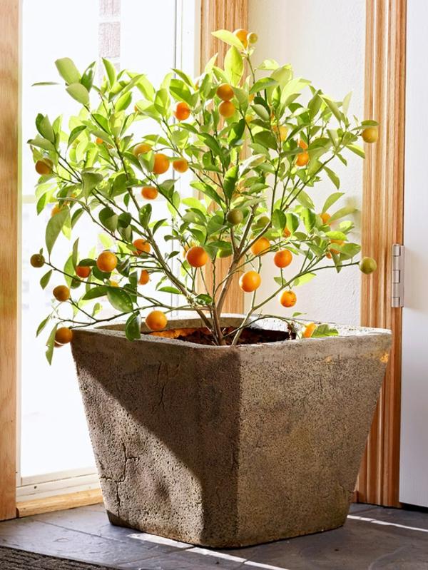 zimmerpflanzen blühend citrofortunella microcarpa calamondinbaum