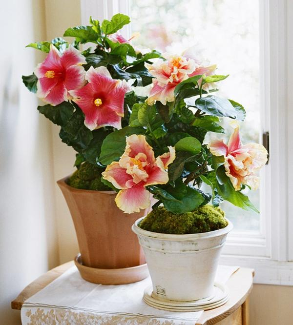 zimmerpflanzen blühend hibiscus topfpflanzen
