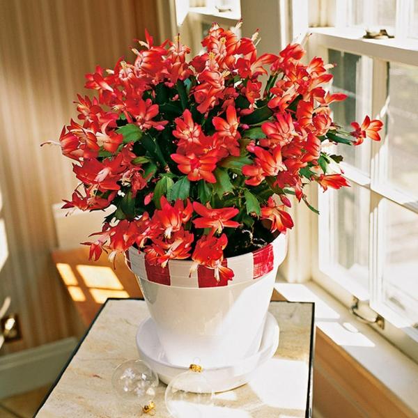 zimmerpflanzen blühend schumbergera weihnachtskaktus