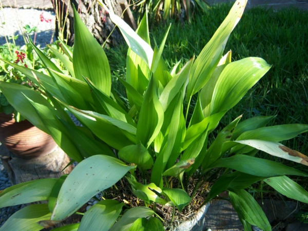 Aspidistra Zimmerpflanzen für dunkle Standorte