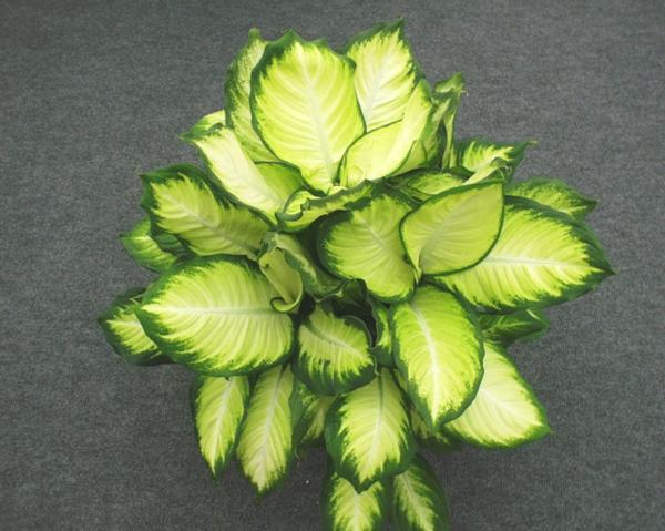 Pflanzen Für Dunkle Räume zimmerpflanzen für dunkle standorte geeignet