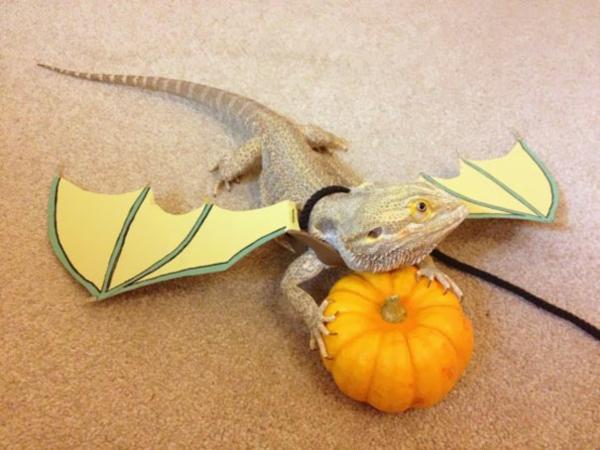 Halloween drache Kostüme Haustiere kürbis