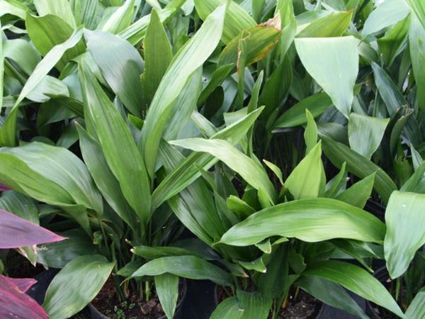zimmerpflanzen ideen grün frisch blattwerk