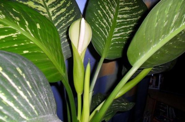 dieffenbachie blüten topfpflanzen dunkle standorte
