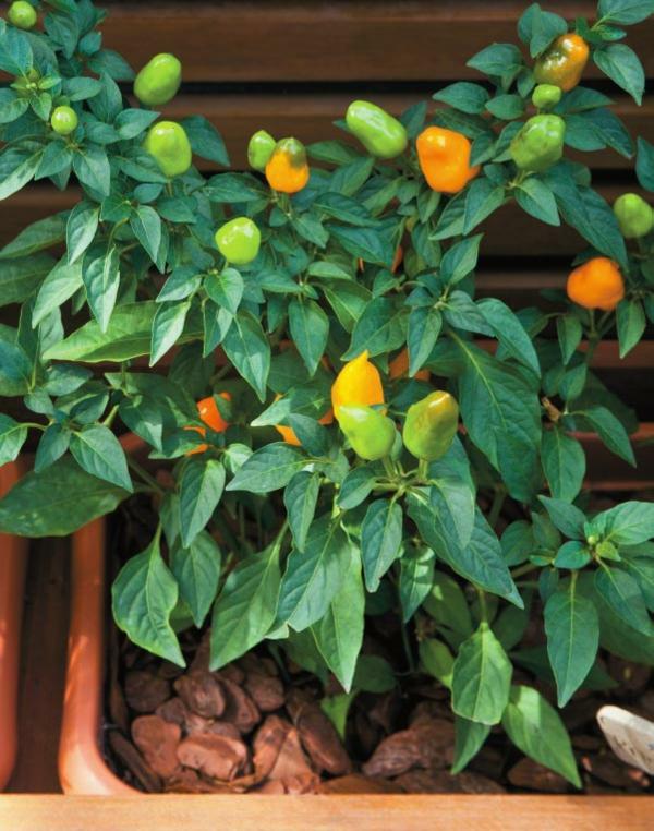 grüne paprika einpflanzen