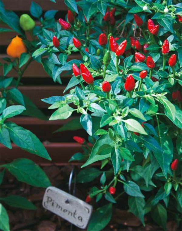 peperoni züchten auf holzpaneele