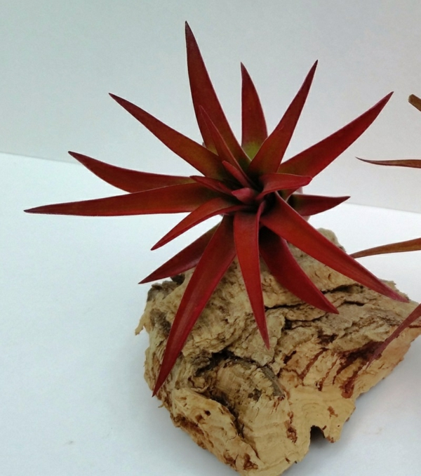 dunkel rot blattwerk Pflanzgefäße für Luftpflanzen exotisch