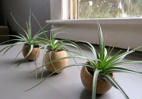 aloe Pflanzgefäße für Luftpflanzen fenster holz