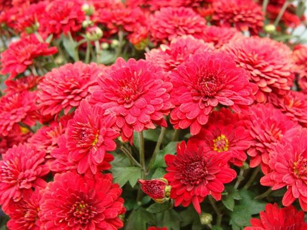ideen Zimmerpflanzen groß bilder topfpflanzen rot