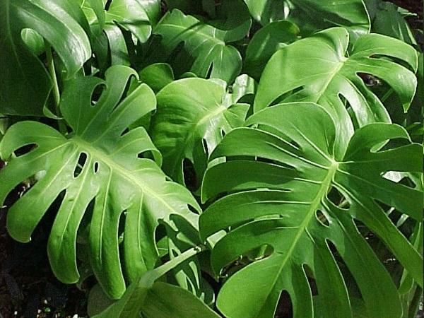 dick blattwerk Zimmerpflanzen groß bilder