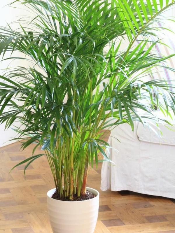 bergpalme zimmerpflanzen topfpflanze zimmerpalmen arten