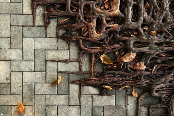 erde und mensch naturbilder baumwürzeln steinpflaster