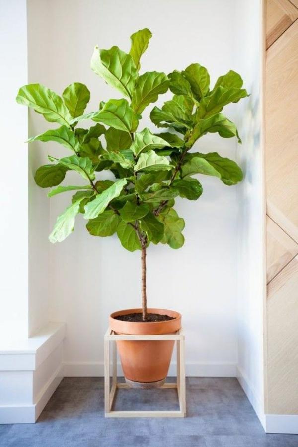 feigenbaum zimmerpflanzen bilder topfpflanze zimmerbäumchen