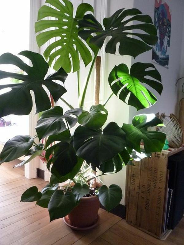 fensterblatt zimmerpflanzen pflegeleicht topfpflanze