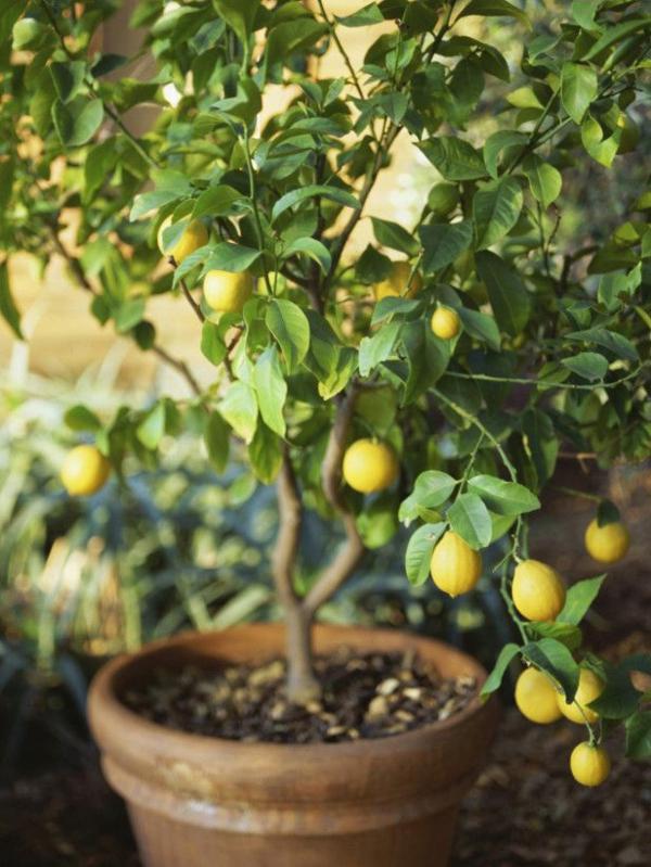 gartenideen herbst garten topfpflanzen zimmerpflanzen zitronenbaum