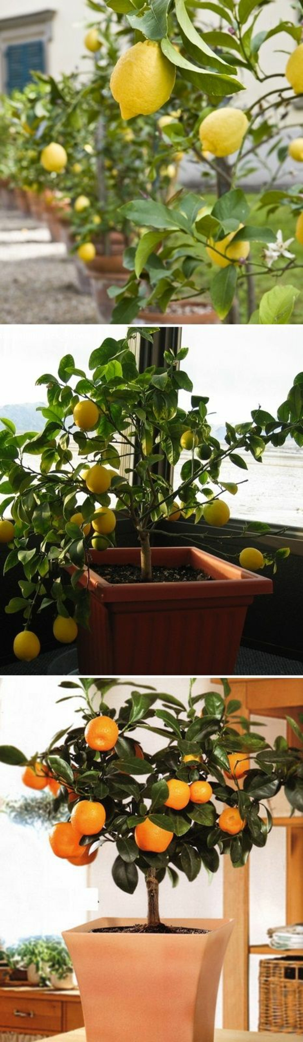 gartenideen herbst garten topfpflanzen zitronenbaum