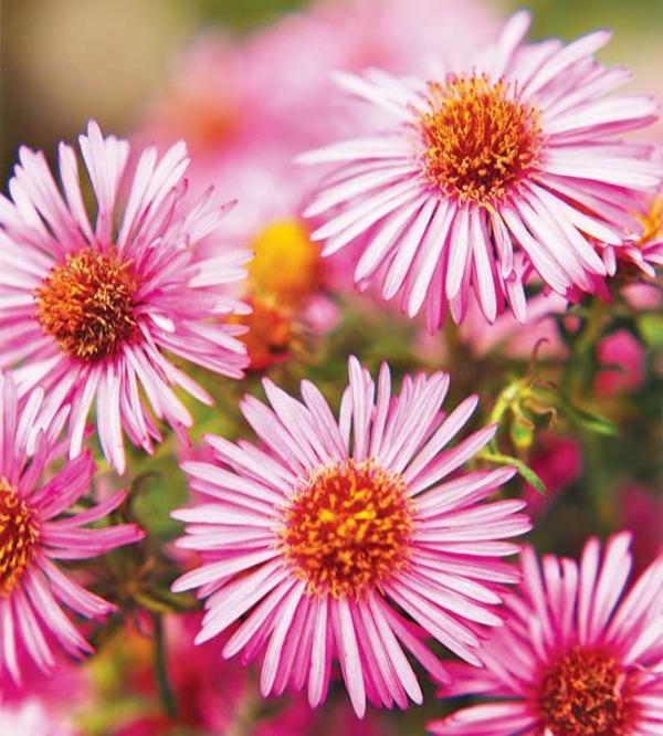 herbst gartengestaltung ideen bilder herbstblumen pflanzen