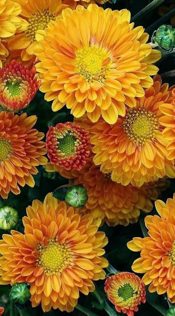 herbstblumen herbst gartengestaltung ideen bilder