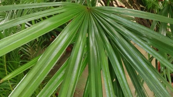 palmenarten zimmerpflanzen rhapis excelsa lady palm grünpflanzen blattwerk