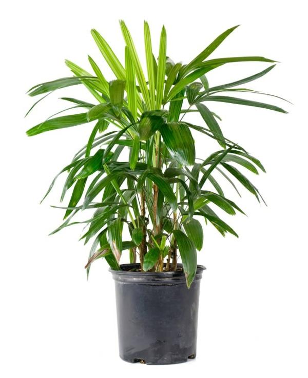 palmenarten zimmerpflanzen rhapis excelsa lady palm grünpflanzen