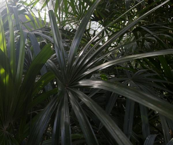 palmenarten zimmerpflanzen rhapis excelsa lady palm große steckenpalme