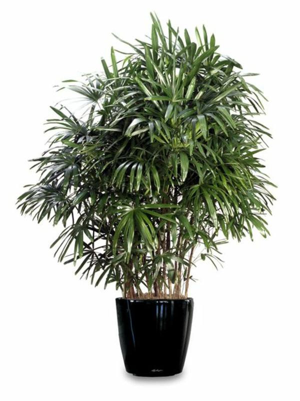 palmenarten zimmerpflanzen rhapis excelsa lady palm zimmerpflanzen pflegeleicht