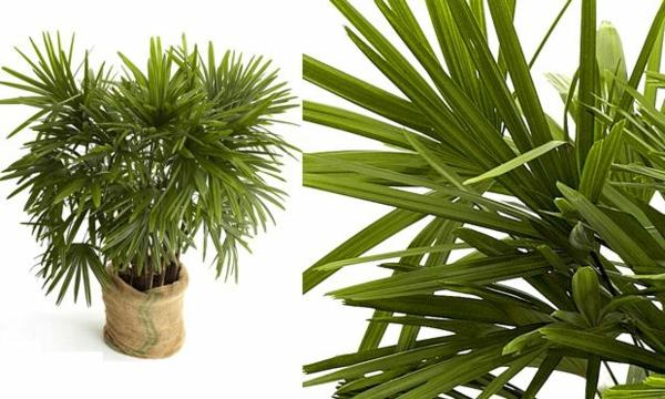 palmenarten zimmerpflanzen rhapis excelsa steckenpalme grünpflanzen
