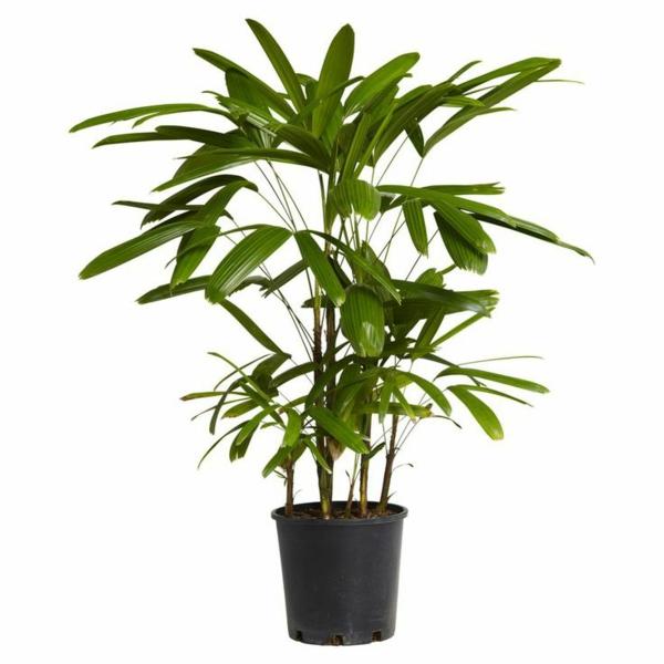 palmenarten zimmerpflanzen rhapis excelsa steckenpalme