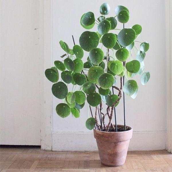 pflegeleichte zimmerpflanzen glückstaler topfpflanzen holzfliesen boden