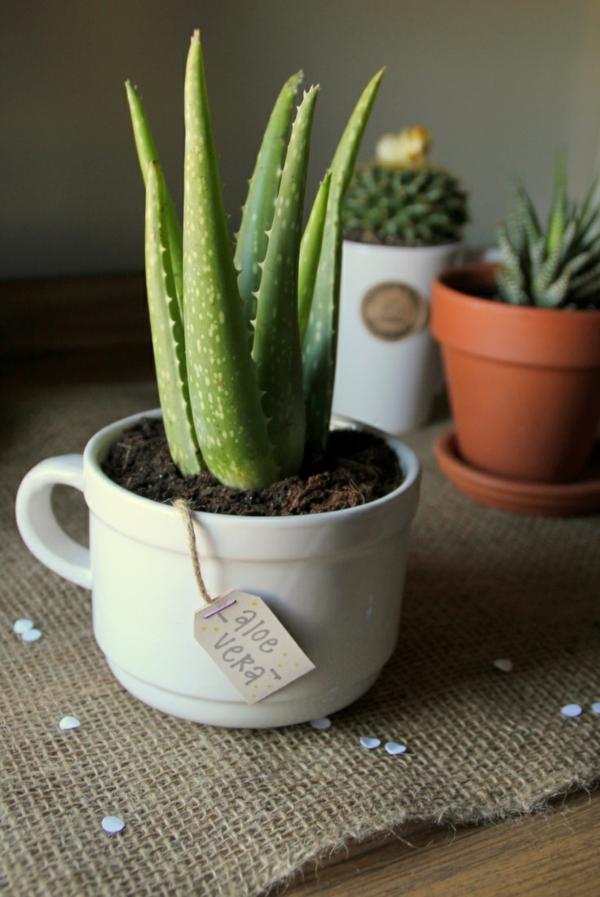 pflegeleichte zimmerpflanzen wenig licht aloe vera