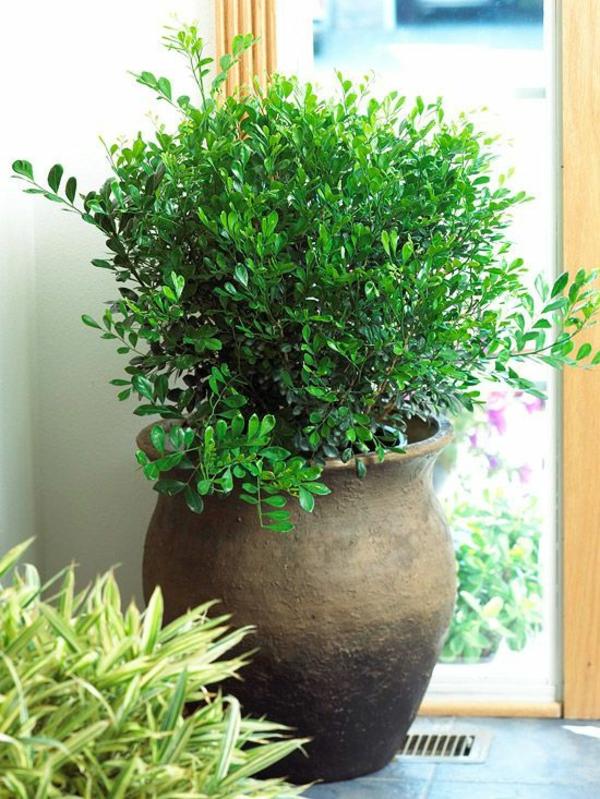 gr ne zimmerpflanzen bilder topfpflanzen gummibaum. Black Bedroom Furniture Sets. Home Design Ideas
