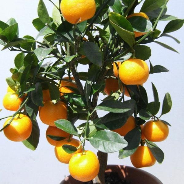 zimmerpflanzen bilder citrus baum topfpflanze