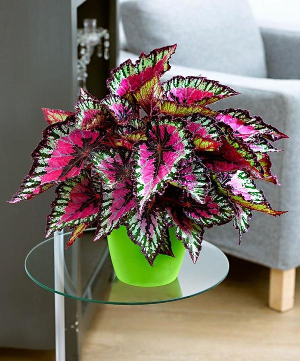 zimmerpflanzen bilder topfpflanzen begonia buntes blattwerk