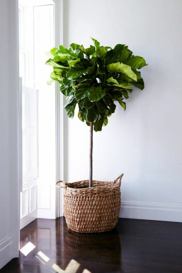 wohnzimmer pflanzen wenig licht:zimmerbaum beliebteste zimmerpflanzen ...