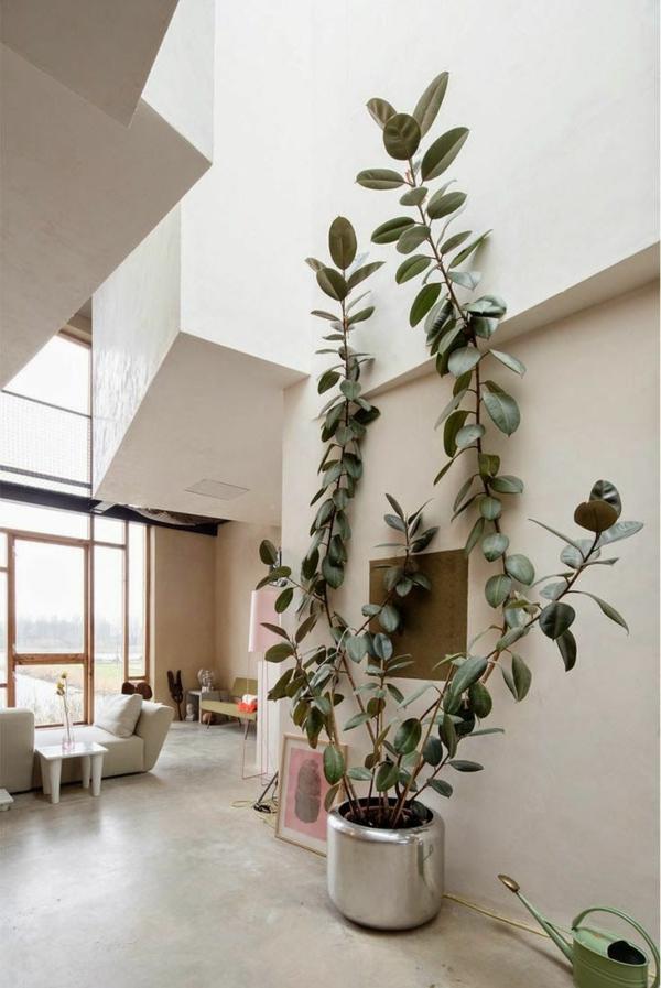 zimmerbaum beliebteste zimmerpflanzen topfpflanzen gummibaum wohnzimmer