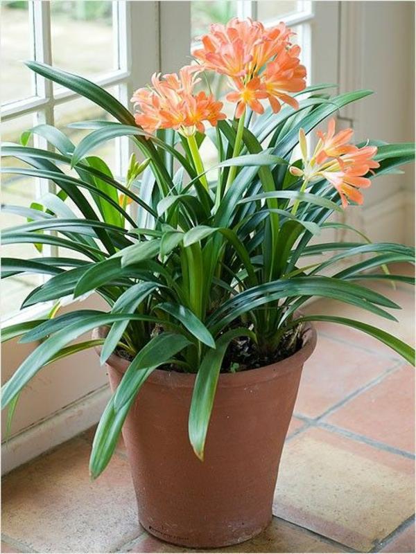 Clivia Miniata zimmerpflanzen blühend klivie