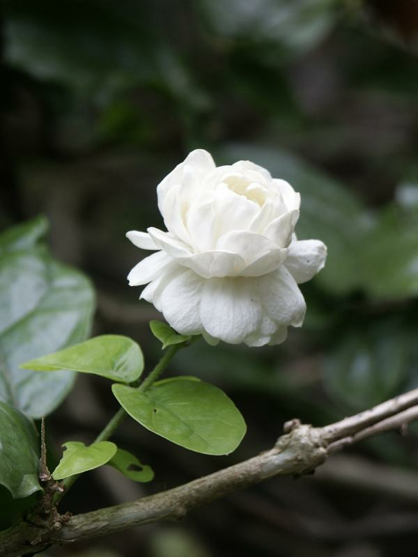 Jasmin Pflanze exotisch arten