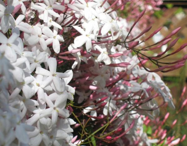 Jasmin Pflanze frisch blüten