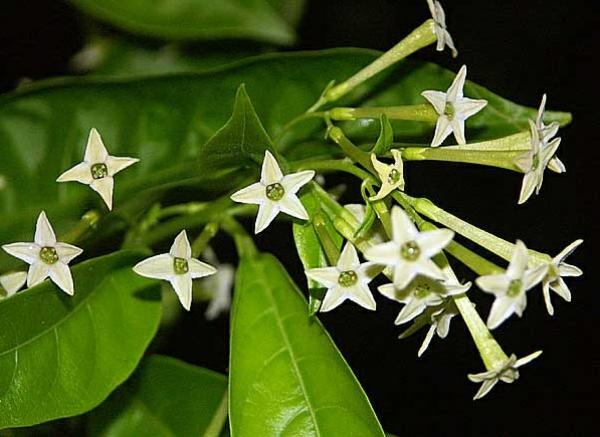 Jasmin Pflanze grün blattwerk