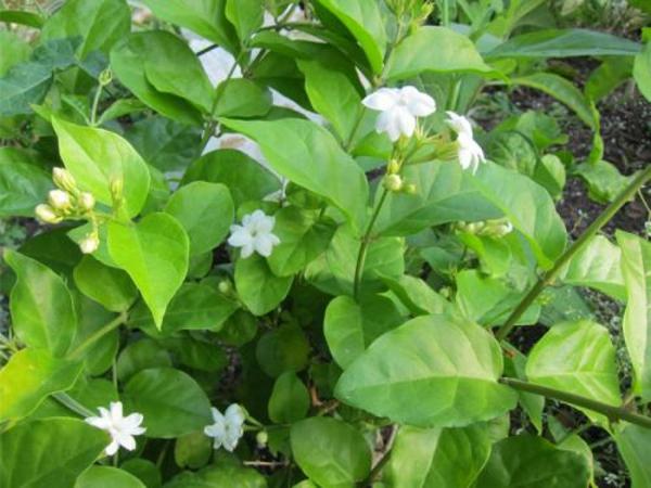 Jasmin Pflanze ideen grün blattwerk