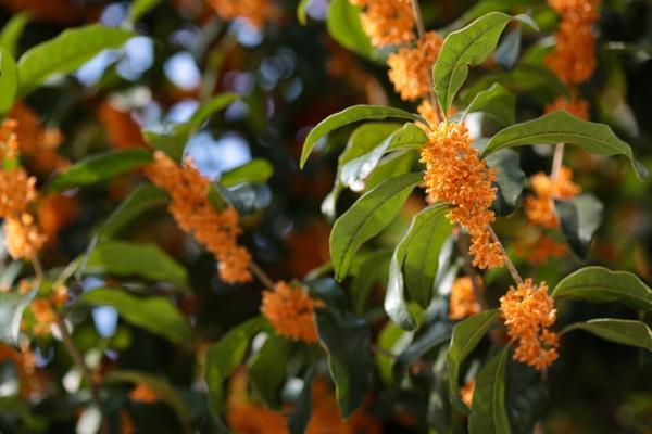 Jasmin Pflanze orange blüten
