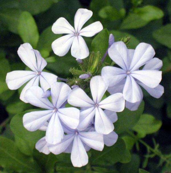 Jasmin Pflanze schön natur