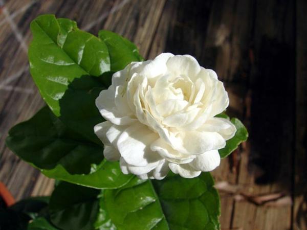 Jasmin Pflanze weiß blüten blumen
