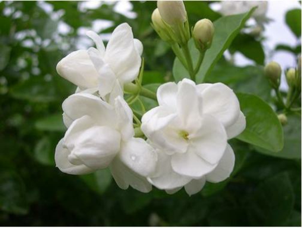 Pflanze Jasmin  weiß blüten