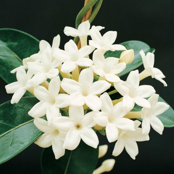 Jasmin Pflanze weich angenehm aroma