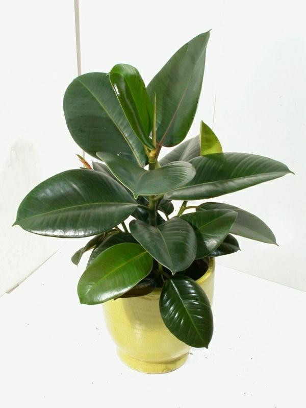 Robuste Zimmerpflanzen bilder gummibaum zimmergrünpflanzen